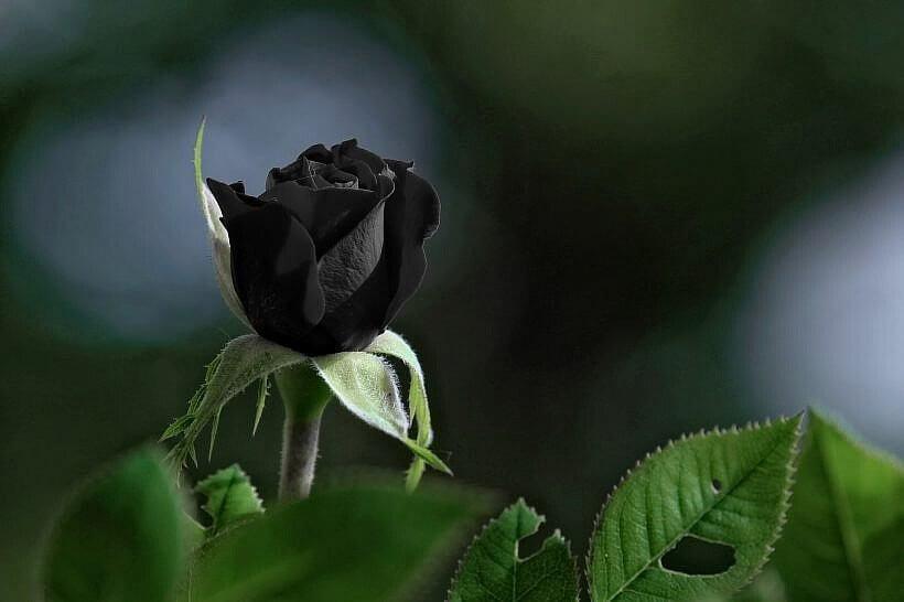 """rose 3499377 1920 820x546 - """"W żywe oczy"""" JP Delaney"""